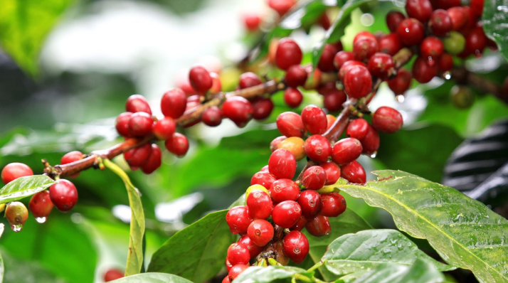 Coffee Plantation in Wayanad